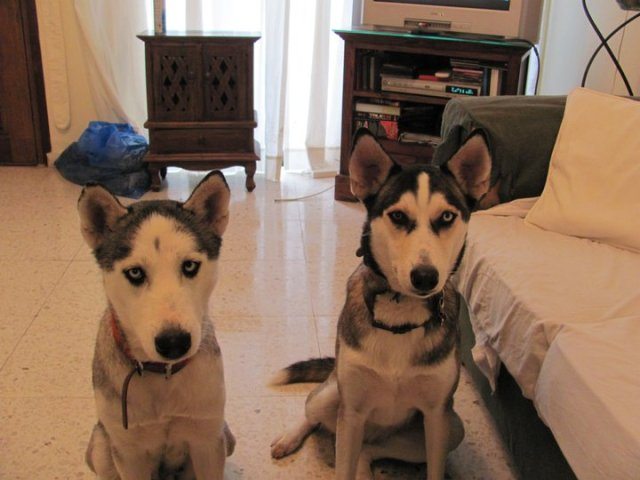 Storm and Secret - 2 missing husky dogs, Paphos.