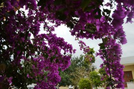 Today, under the Bougainvillea